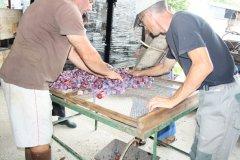 Enclayage manuel avant la mise au four des prunes. (© FERME DU PLESSIS)