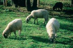 Moutons (© TONY CARDWELL - ICONOTEC)