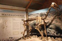 Squelette du Macrauchenia patachonica,