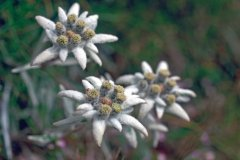 Edelweiss (© PAULETTE RICHARD - ICONOTEC)