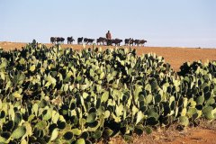 Champ de cactus et troupeau. (© Atamu RAHI - Iconotec)