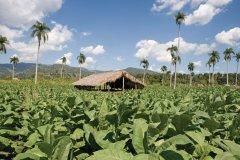 Plantation de tabac dans la vallée du Cibao. (© Irène ALASTRUEY - Author's Image)