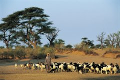 Berger et son troupeau à Cayor. (© Tom Pepeira - Iconotec)