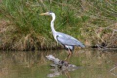 Héron, parc ornithologique de Pont-de-Gau. (© panosud360 - stock.adobe.com)