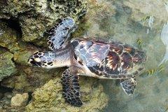 Lors des plongées il est fort probable que vous croisiez des tortues. (© Florie THIELIN)