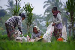Travail des femmes dans les rizières. (© Sally Bataillard)