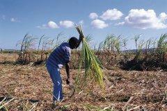 Ouvrier coupant de la canne à sucre à la maison de la Canne. (© Author's image)