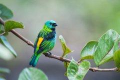 Calliste à tête verte dans le parque nacional do Itatiaia. (© Vitormarigo - Shutterstock.com)