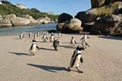 Les immanquables pingouins du Cap. (© Olof Van der Steen - iStockphoto)