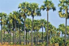 Palmiers à sucre. (© Alamer - Iconotec)