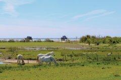 Les chevaux de la ferme aquacole de l'île Madame. (© Vincent Edwell)
