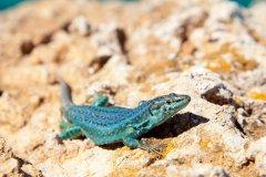 Lézard typique de Formentera. (© holbox - Shutterstock.com)
