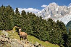 Chamois près de Chamonix (© Emicristea - iStockphoto.com)
