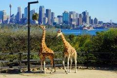 Girafes dans le zoo de Taronga. (© EQRoy - Shutterstock.com)
