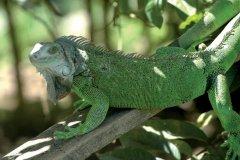 Iguane vert (© Pepeira, Tom - Iconotec)
