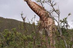 Girafe dans une réserve privée à proximité de Mossel Bay. (© Chloé OBARA)