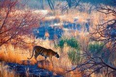 Tigre dans le parc national de Ranthambore. (© eROMAZe - iStockphoto)