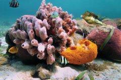 Observez les coraux lors de plongées à Porto Rico. (© Vilainecrevette - Fotolia)