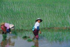 Rizières sur la route de Menghai. (© Author's Image)