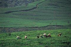 Plantations de thé. (© Cali - Iconotec)