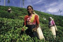 Cueilleuses de thé (© Eric Martin - Iconotec)