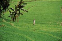 Rizière, Kandy (© Author's Image)