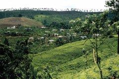 Plantation de thé (© Alamer - Iconotec)