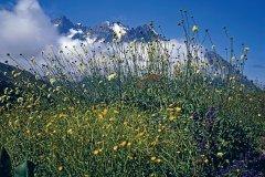Genêts dans le massif de la Meije (© PAULETTE RICHARD - ICONOTEC)