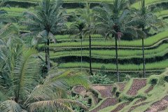 Rizières près d'Ubud. (© Yukiko Yamanote - Iconotec)