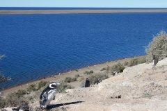 Pingouins de Magellan à Caleta Valdés. (© Pierre-Yves SOUCHET)