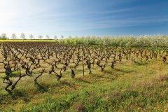 Vignoble près de La Grande-Motte. (© Frédéric de Bailliencourt)