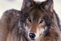 Le loup (© PHOTOS.COM)