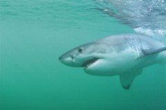 Les grands requins blancs à Walker Bay (© Abdesslam Benzitouni)