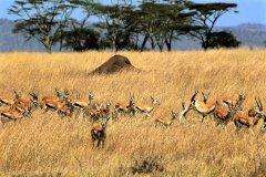 parc national du Serengeti, gazelles de Thomson (© Tom Pepeira - Iconotec)