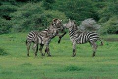Zèbres (© Tanzania Tourist Board)