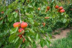 Abricots du Roussillon. (© Laurent Pierson)