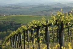 Vignes à San Gimignano. (© Picsofitalia.com)