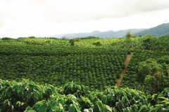 Plantation de café (© Colombie, vous ne voudrez plus en repartir)