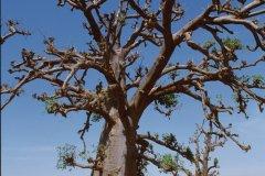 Baobab à Saly-Portudal. (© Author's Image)