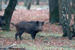 Sanglier dans la forêt de Fontainebleau (© Butorétoilé - Fotolia)