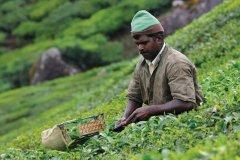 Plantations de thé (© PATRICE ALCARAS)