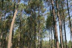 Forêt landaise (© JEAN-MICHEL POUGET - FOTOLIA)