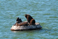 Lions de mer depuis Muelle Baron (© Arnaud BONNEFOY)