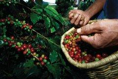 Cerises de café. (© Colombie, vous ne voudrez plus en repartir)