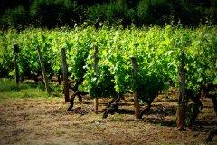 Vignes - Pauillac - Médoc. (© Krystell BONNET photographie)