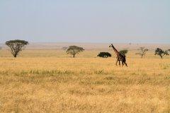 Girafe dans le Parc National du Serengeti (© Stephan SZEREMETA)
