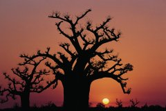 Baobab de la presqu'île du Cap vert. (© Tom Pepeira - Iconotec)
