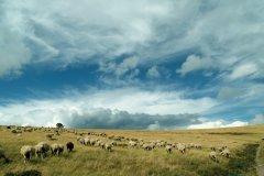 Troupeau de moutons sur le mont Lozère (© Debieux - iStockphoto.com)