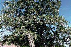Un arbre à karité. (© Stéphanie BORG)