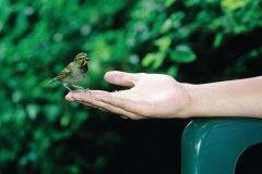 Mêmes les oiseaux portent les couleurs de la Jamaïque. (© Sir Pengallan - Iconotec)
